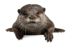 Oriental small-clawed otter, Amblonyx Cinereus, 5 years old, sitting in front of - stock photo