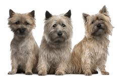 Cairn Terriers, 12 and 2 years old, sitting in front of white background Stock Photos