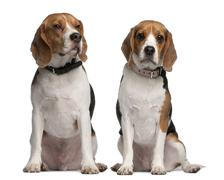 Beagles, 1 and 3 years old, sitting in front of white background - stock photo