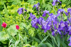 Purple irises and red tulips Stock Photos