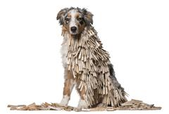 Australian Shepherd puppy covered with Clothespins, 5 months old, sitting in fro Stock Photos