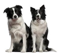 Border collies 1 and 9 years old, sitting in front of white background Stock Photos