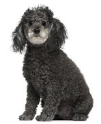 Poodle, 12 years old, sitting in front of white background - stock photo