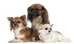 Chihuahuas and Pekingese, 1, 2, and 2 and a half years old, in front of white ba - stock photo