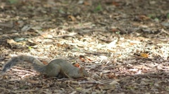 Squirell Digging and stashing nuts Stock Footage