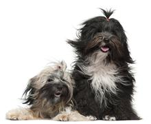 Tibetan Terriers with windblown hair, 2 and a half years old and 1 year old, in  - stock photo