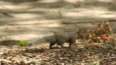 Squirrel Walking Stock Footage