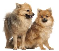 Two Spitz dogs, 1 year old, in front of white background - stock photo
