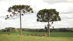 Bovines - ox Stock Footage