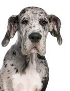 Close-up of Great Dane puppy, 3 months old, in front of white background Stock Photos