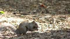 Squirrel Stashing Nuts Close Up and Scratching Stock Footage