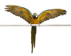 Blue and Yellow Macaw, Ara Ararauna, perched and flapping wings in front of whit Stock Photos