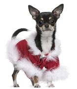 Chihuahua in Santa outfit, 7 months old, standing in front of white background - stock photo