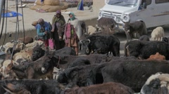 Donkeys,cows,goat and sheep gather early in the morning,Kibber,Spiti,India Stock Footage