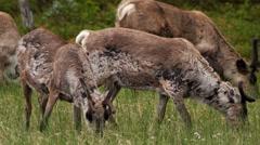 reindeer in swedish lapland - stock footage