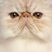 Close-up of Persian kitten, 3 and a half years old Kuvituskuvat