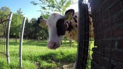 Young cows outside startled by camera around the corner 4k Stock Footage