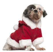 Shih Tzu wearing Santa outfit, 12 and a half years old, sitting in front of whit Stock Photos