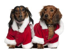 Dachshunds wearing Santa outfits, 18 months and 3 years old, in front of white b - stock photo