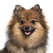 Close-up of German Spitz panting, 8 months old, in front of white background - stock photo