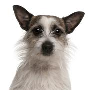 Mixed-breed dog, 2 years old, in front of white background Stock Photos