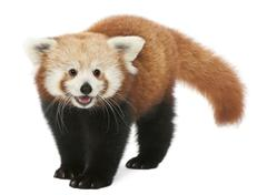 Young Red panda or Shining cat, Ailurus fulgens, 7 months old, in front of white - stock photo