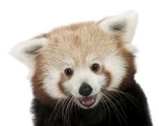 Close-up of Young Red panda or Shining cat, Ailurus fulgens, 7 months old, in fr Stock Photos