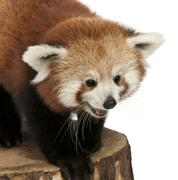 Young Red panda or Shining cat, Ailurus fulgens, 7 months old, on tree trunk in  - stock photo