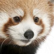 Close-up of Young Red panda or Shining cat, Ailurus fulgens, 7 months old, in fr - stock photo