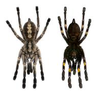 Tarantula spiders, Poecilotheria Metallica, in front of white background Stock Photos