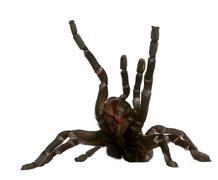Tarantula spider attacking, Haplopelma Minax, in front of white background Stock Photos