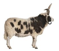 Multi-horned Jacob Ram, Ovis aries, in front of white background - stock photo