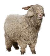 Angora goat in front of white background Stock Photos