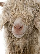 Close-up of Angora goat in front of white background Stock Photos