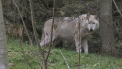 Gray Wolf Standing in a Clearing Stock Footage