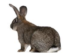 Flemish Giant rabbit in front of white background Stock Photos