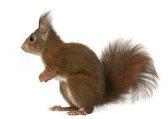 Eurasian red squirrel, Sciurus vulgaris, 4 years old, in front of white backgrou - stock photo