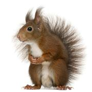 Eurasian red squirrel, Sciurus vulgaris, 4 years old, in front of white backgrou Stock Photos