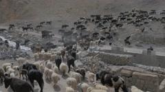 Herd of animals walking in rough Himalaya mountains,Kibber,Spiti,India Stock Footage