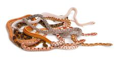 Scaleless Corn Snakes, Pantherophis Guttatus, in front of white background Stock Photos
