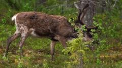 Reindeer in swedish lapland Stock Footage