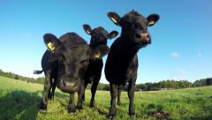 Three young black cows checking out camera 4k Stock Footage