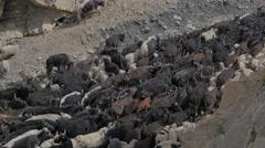 Herd of animals walking through Himalaya valley,Kibber,Spiti,India Stock Footage