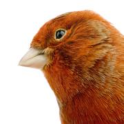 Red canary on its perch - stock photo