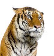 Tiger's face - stock photo