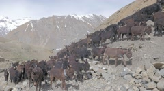 Shepherd driving herd of animals through Himalaya scenery,Kibber,Spiti,India Stock Footage