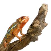 Chameleon Furcifer Pardalis - stock photo