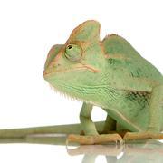 Yemen Chameleon - chamaeleo calyptratus - stock photo