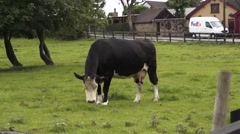 Cow in field Ireland Stock Footage