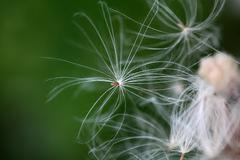 A macro photo of thistle seed with pappus. - stock photo